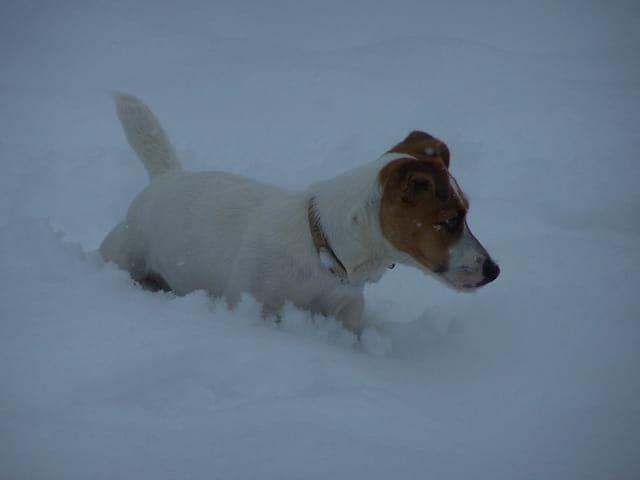 Jack Russel dans la neige