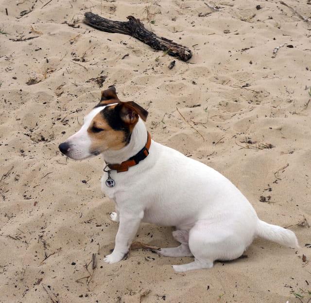 Jack Russel sur le sable