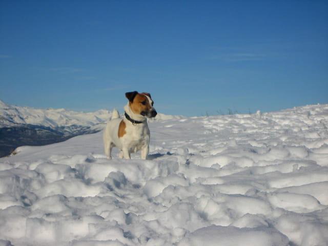 Jack russell à la neige