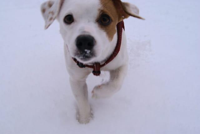 Jack Russell sous la neige