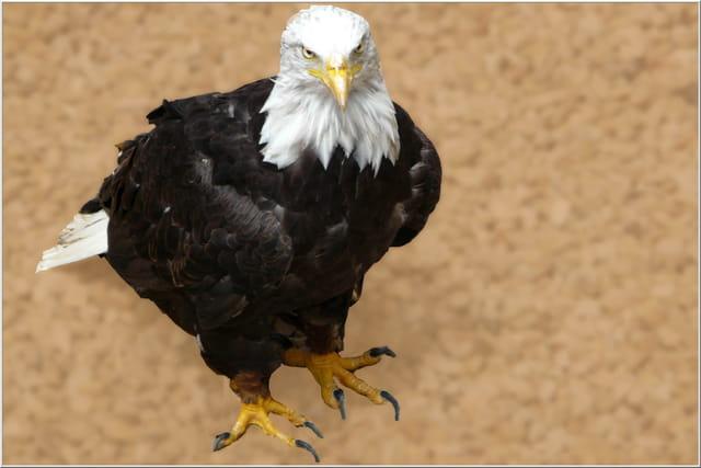 Je suis un aigle