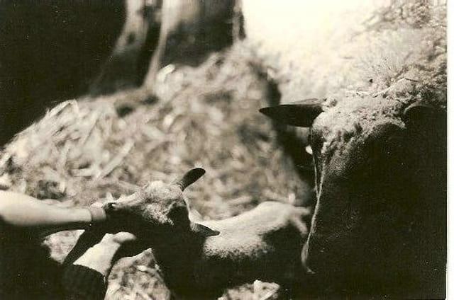 Jeune  agneau