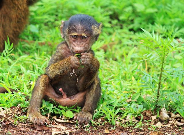 Jeune babouin (en forme!)