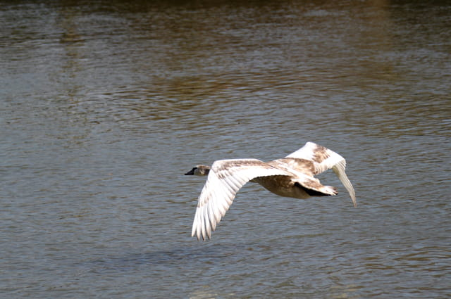 Jeune cygne en vol