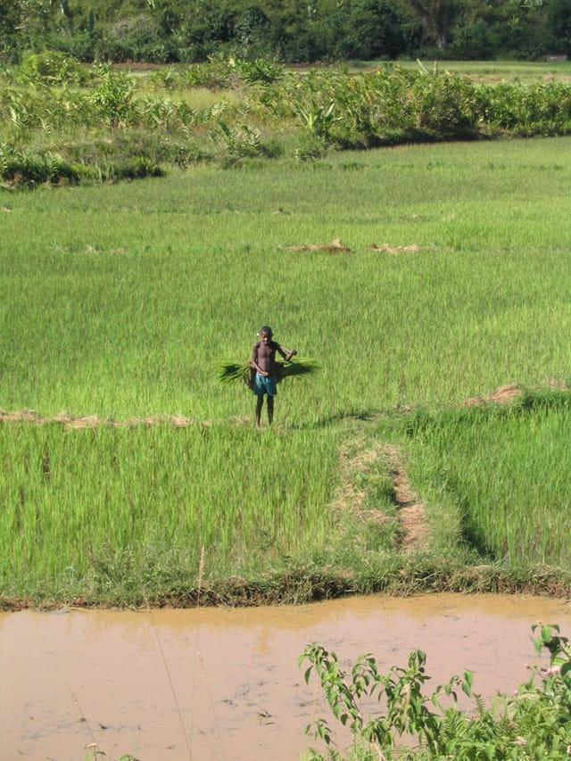 Jeune dans les rizières