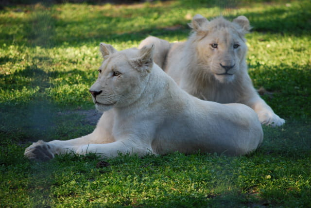 Jeune lion blanc