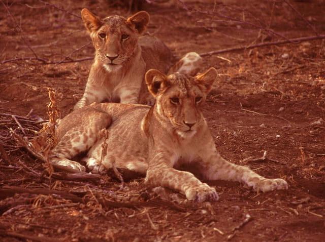 Jeunes lions