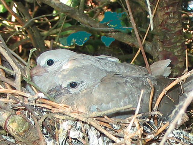 Jeunes tourterelles au nid
