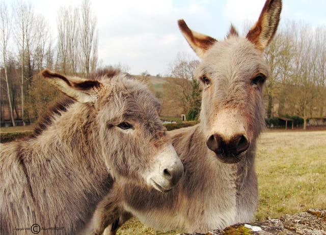 Joli couple d'ânes