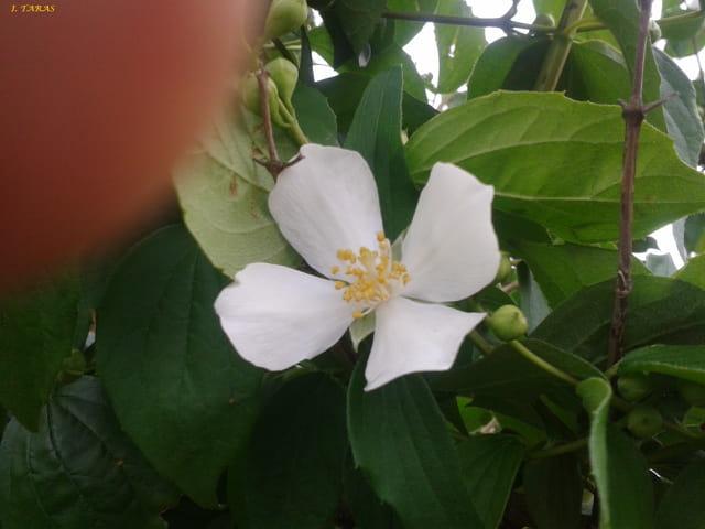 Jolie fleur blanche