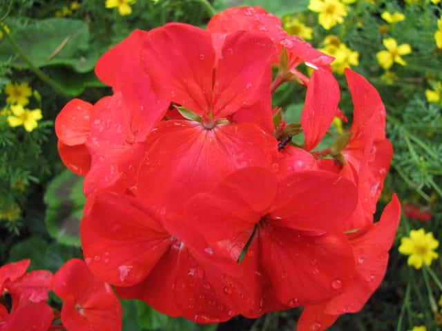 Jolie fleur perlée par la rosée du matin.