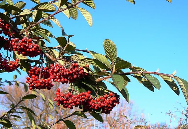 Jolies baies rouges sous un ciel bleu