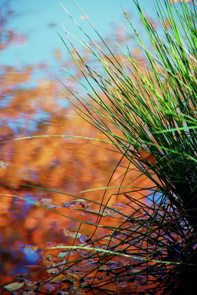 Jonc sur étang d'automne