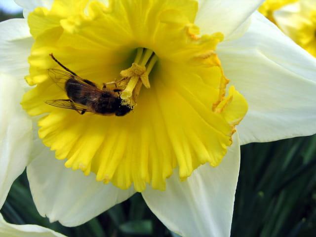Jonquille et abeille