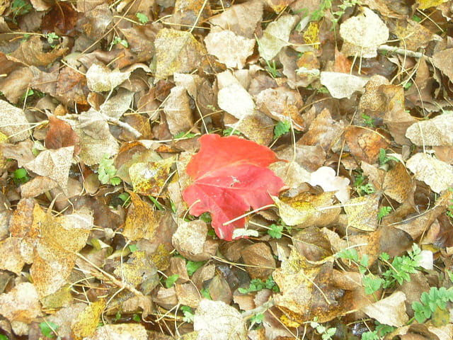Just une feuille rouge