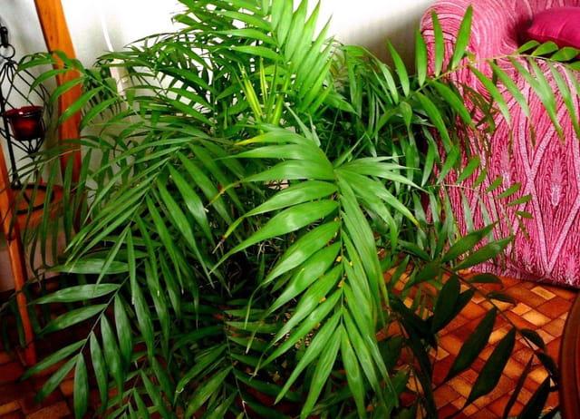 Kentia palmier d 39 int rieur par jacqueline dubois sur l - Palmier d interieur ...