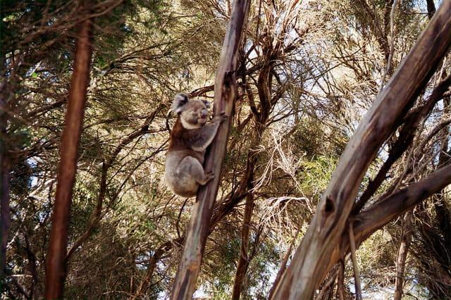 Koala en fôret