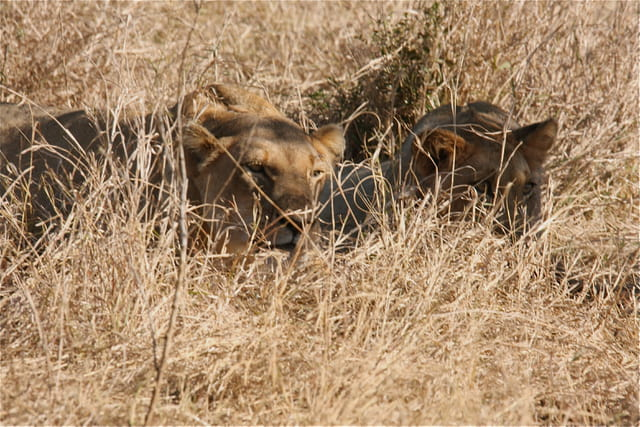 Kruger National Park, des jeunes Lions (Panthera leo)