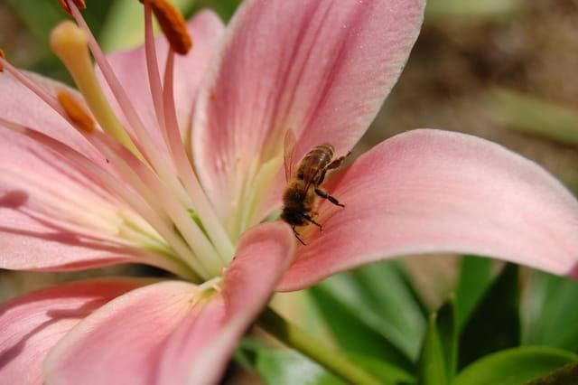 L abeille