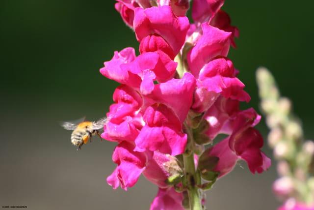 L'abeille et le muflier