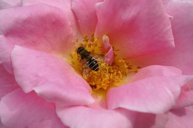 L'abeille se régale