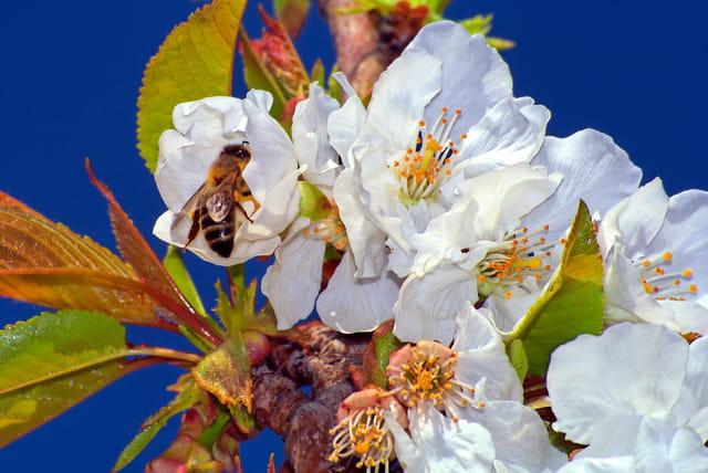L'abeille sur le cerisier