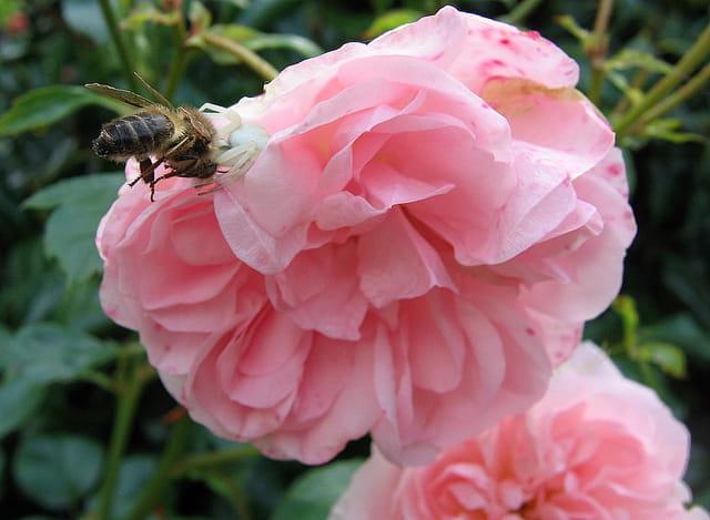 L'abeille est la proie de l'araignée crabe