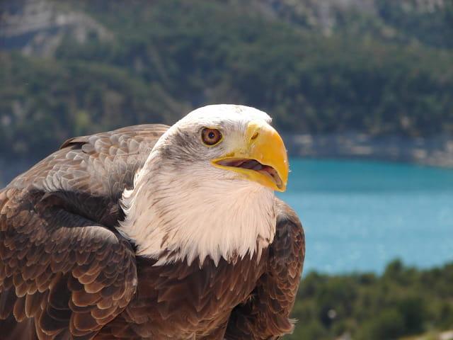 L'aigle pêcheur