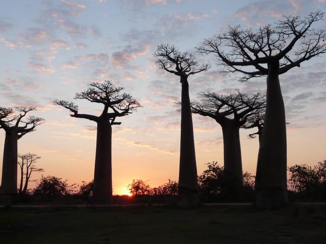 L'Allée des Baobabs Morondava au coucher de soleil
