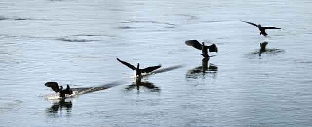 L'amerrissage du grand cormoran