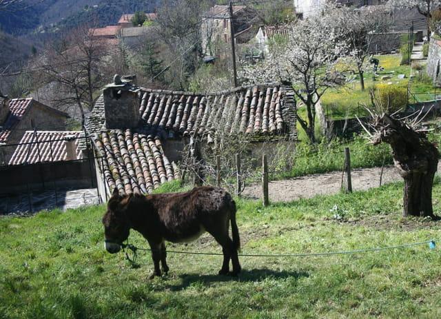 L'âne cévenol