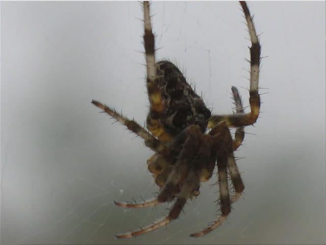 L araignée du jardin