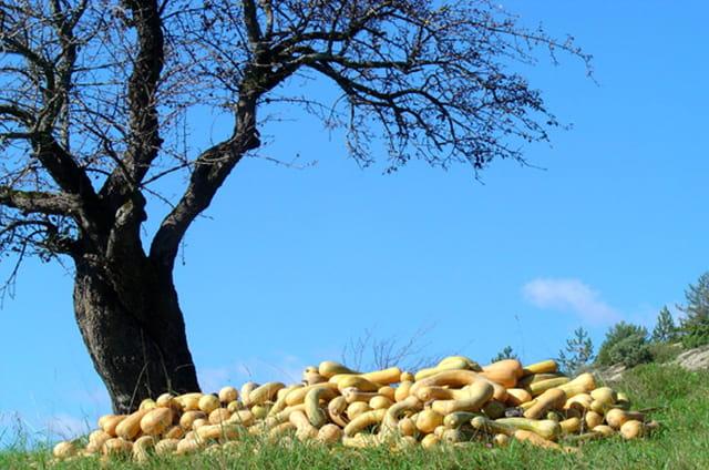 L'arbre à courges