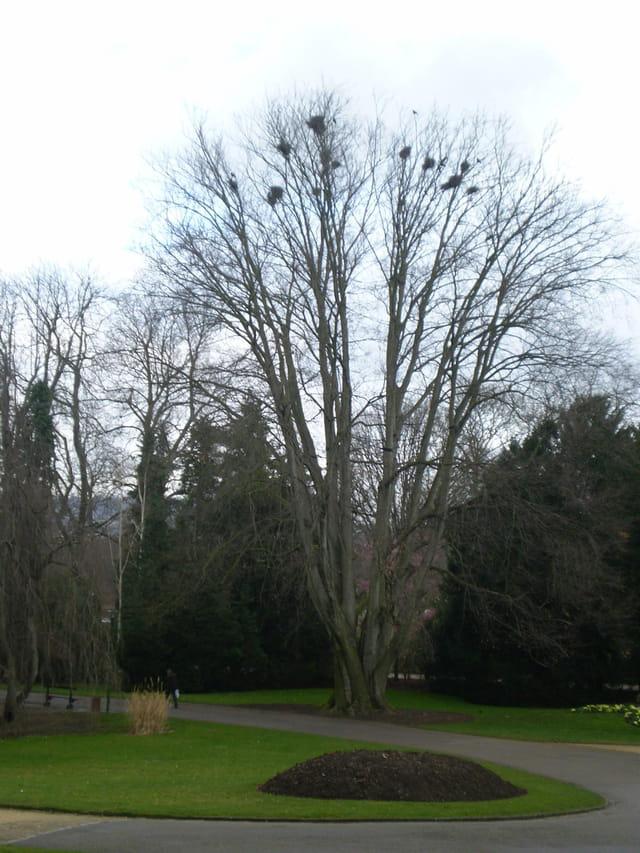 L'arbre aux 15 nids de corbeaux