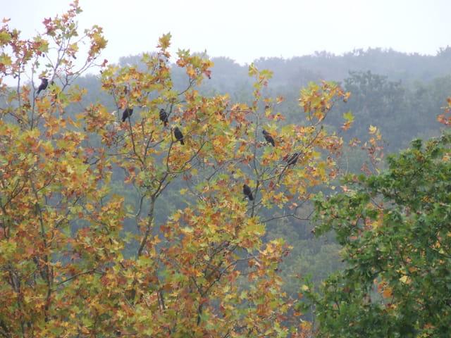 L arbre aux corbeaux