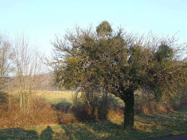 L arbre aux guis