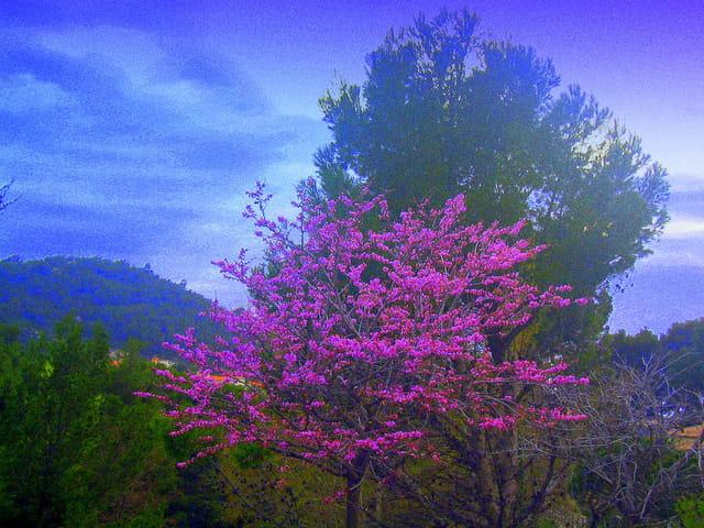 L'arbre de judée