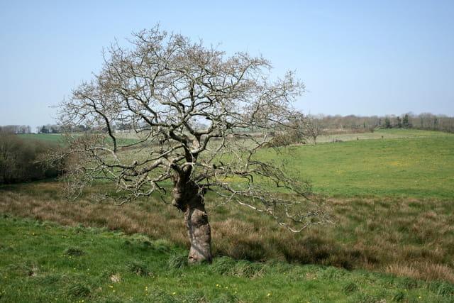 L\'arbre de Langolen