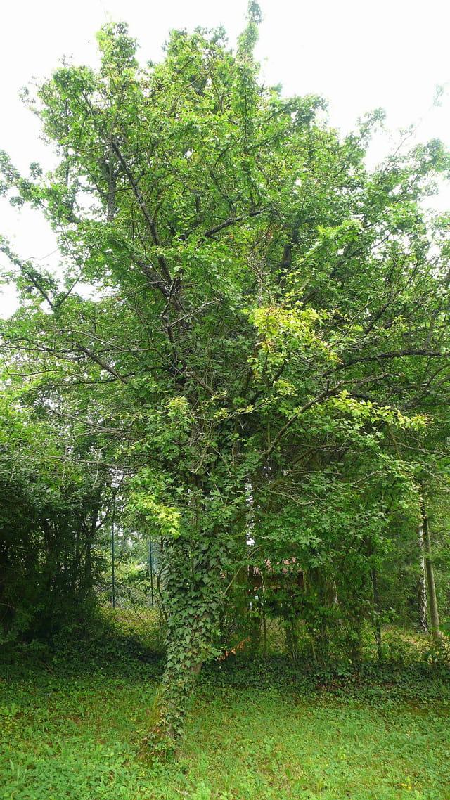 L'arbre en été