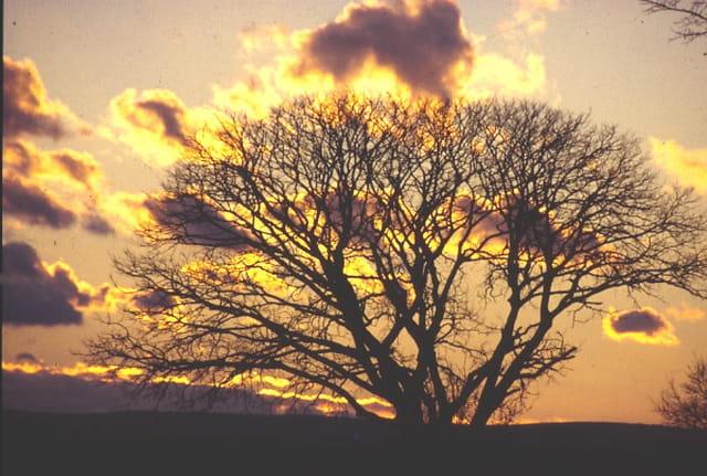 L'arbre flamboyant