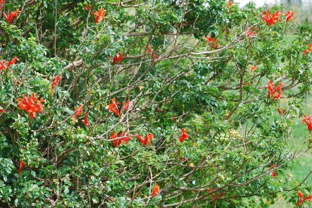 L'arbuste rouge