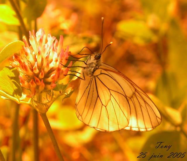 L'art papillon