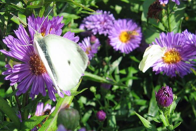 L\'aster et ses papillons favoris