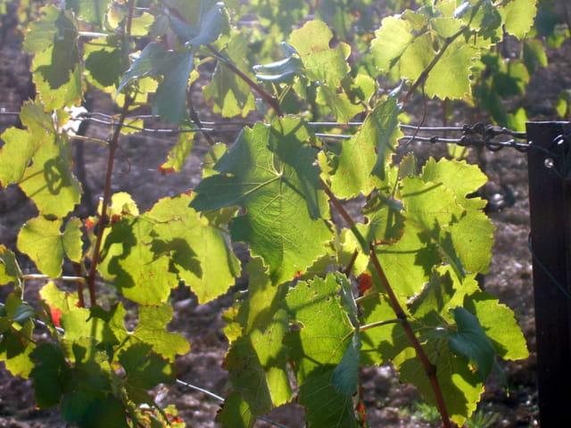 L'automne pour le vin nouveaux