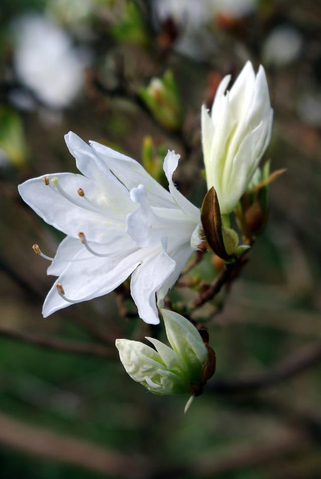 L'éclosion de la fleur d' azalée : Trévarez