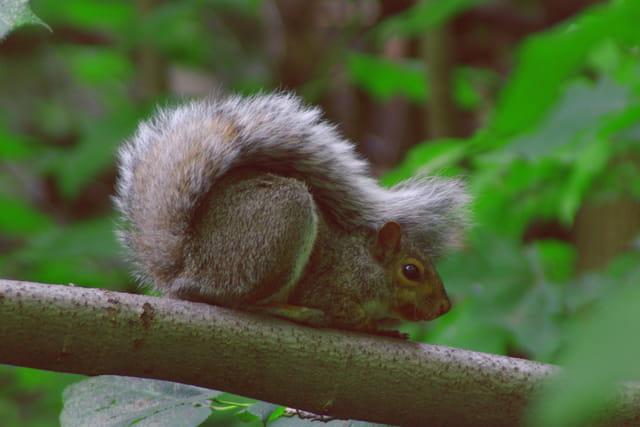 L'écureuil de Mont-Royal