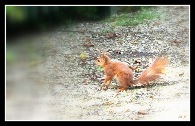 l'écureuil juste avant son saut.