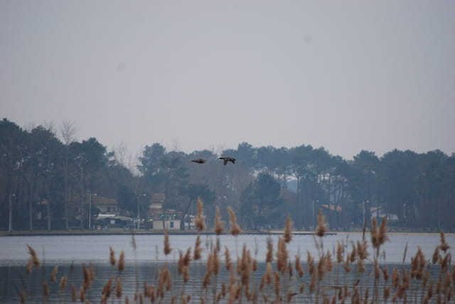 L'envol des canards