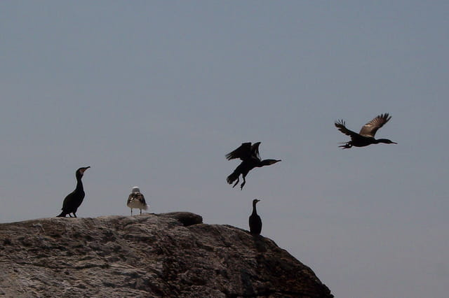 L'envol du cormoran