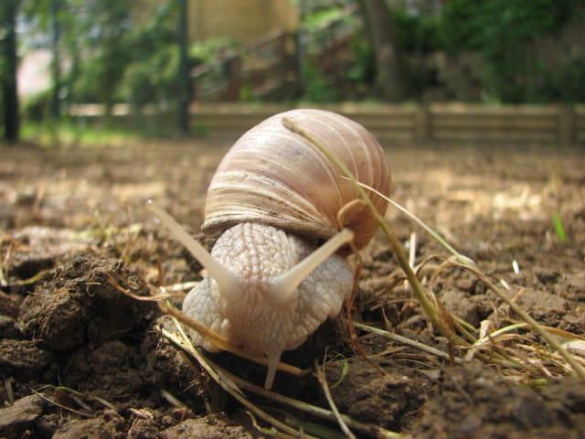 L ' escargot